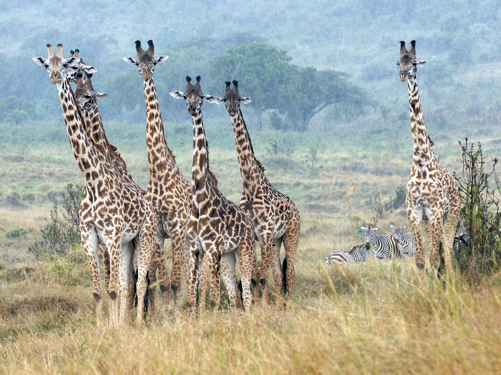 Giraffes standing really still in the rain in the Masai Mara, Kenya